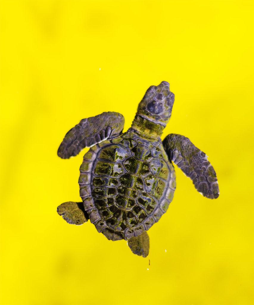 Baby turtle in Maitum